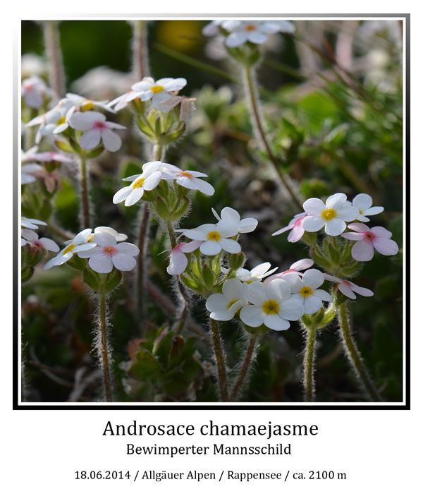 Androsace-chamaejasme-01.jpg