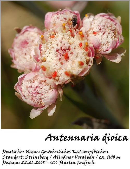 Antennaria_dioica_04_001.jpg