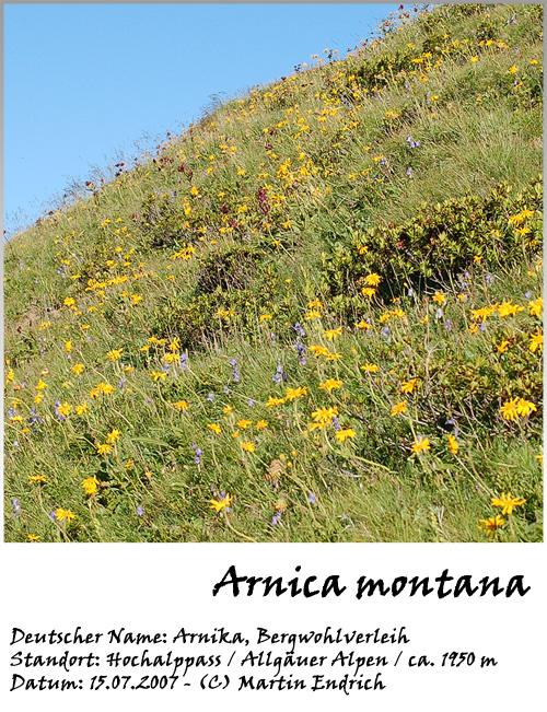 Arnica_montana_03.jpg