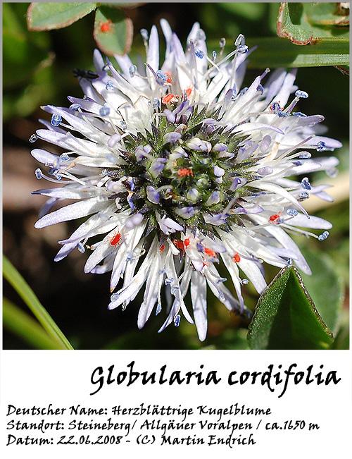 Globularia_cordifolia_04.jpg