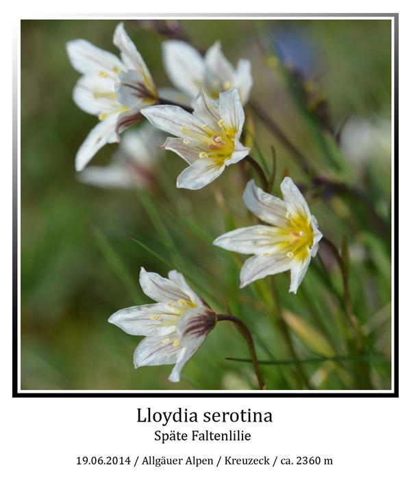 Lloydia-serotina-01.jpg